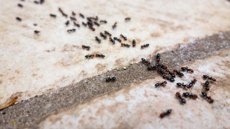remedios_hormigas