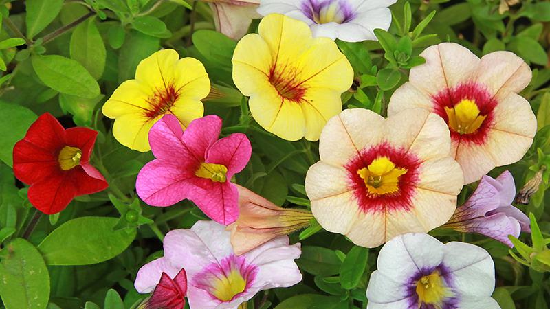 Petunias: cómo plantarlas y cuidarlas
